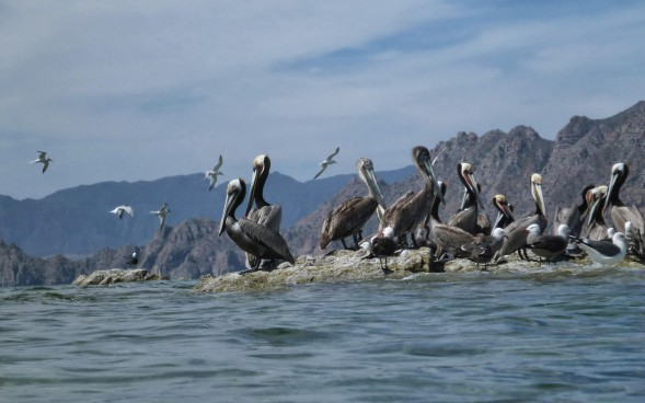 Flying Terns and Pelicans