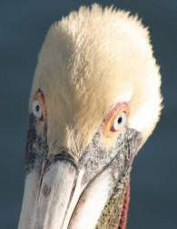 Pelican's face