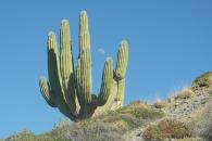 Cardon cactus