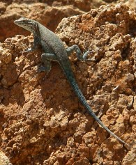 Endemic Santa Catalina side-blotched lizard