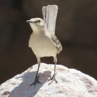 Mockingbird in the canyon