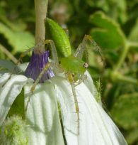 Predatory spider on Inside-Out flower
